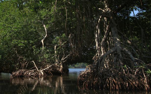 Urgen proteger los manglares