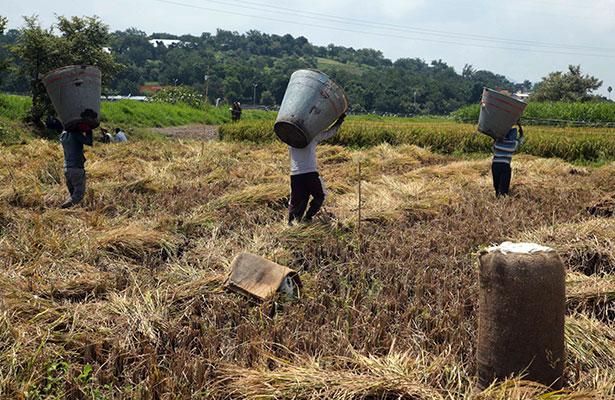 Productores de arroz brasileño confían en apertura del mercado mexicano