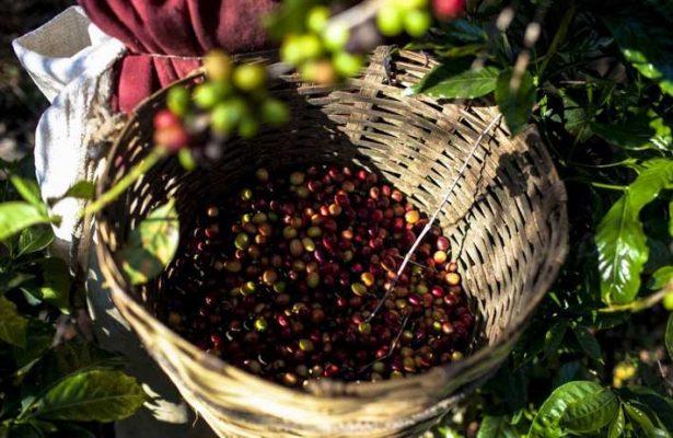 Esperan productores buena cosecha con café robusta