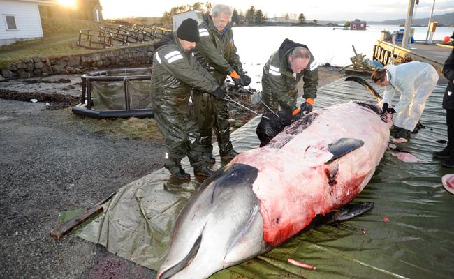 Hallan ballena varada con 30 bolsas de plástico en el estómago . Foto: AP