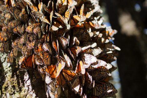 mariposa-monarca-efe