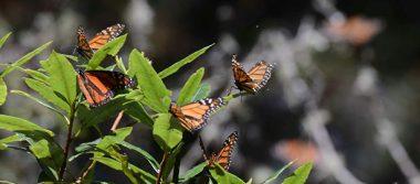 Impera deforestación en Reserva de la Monarca