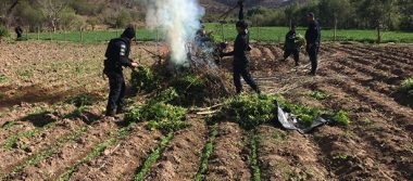 Destruye Policía Federal plantíos de  marihuana y amapola en Zacatecas