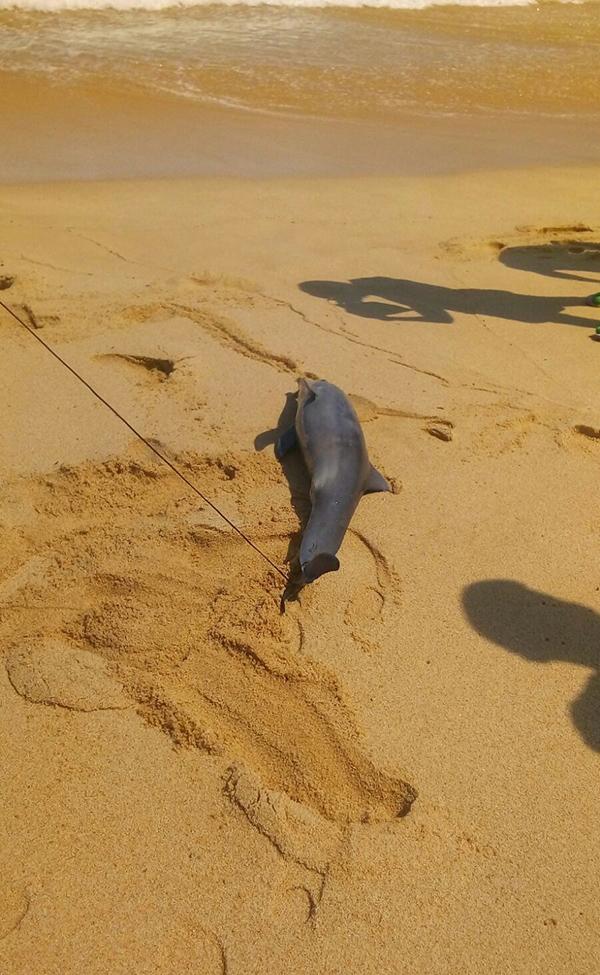 delfin_varado