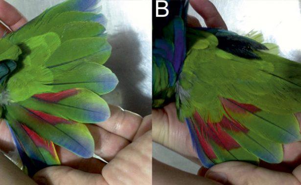 Identifican en México una nueva especie de loro de plumaje azul