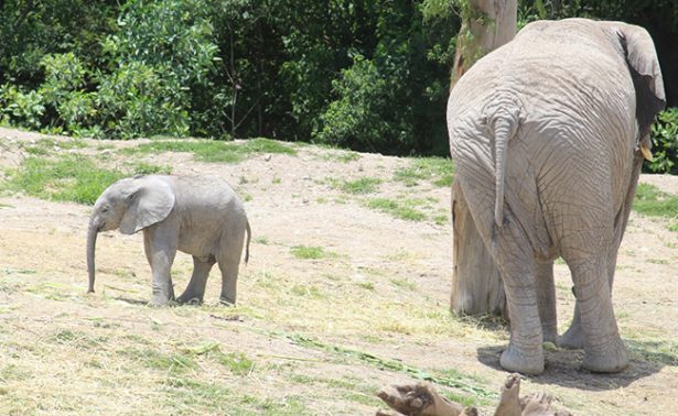 Nace en Africam Safari primer elefante africano en Puebla