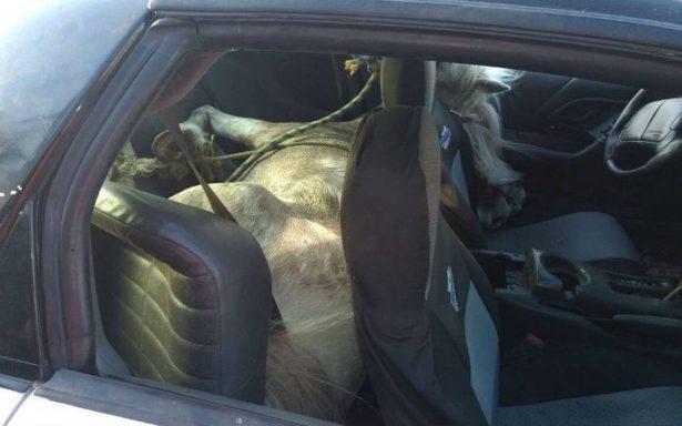 Movilización policiaca por secuestro; llevaban atado dentro del coche a un caballo