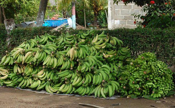 Merma la producción chiapaneca de plátano
