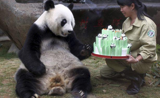 Muere Pan Pan, el oso panda más viejo del mundo