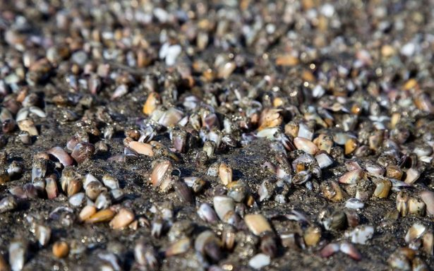 Aparece espectacular 'alfombra' de almejitas en playas de Tijuana