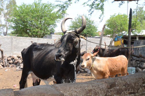 Disponibles más de 1 mil cabezas  de ganado para mejorar hatos