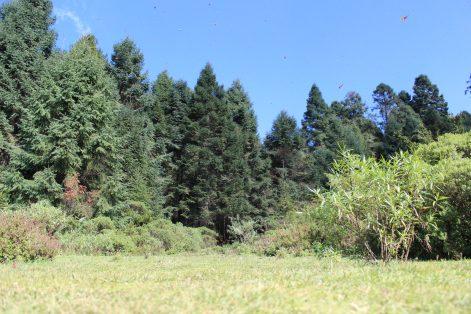 bosque mariposa monarca_MLM (1)