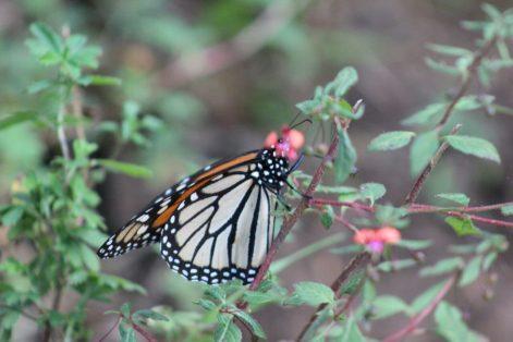 mariposa monarca_2 MLM