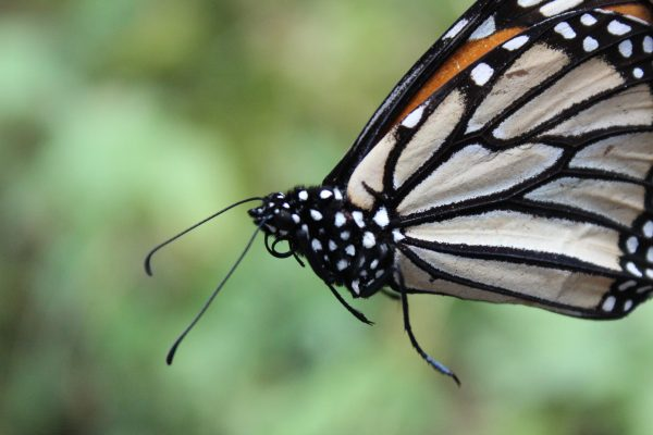 Promedio de mariposas por hectárea es de 30 a 50 millones