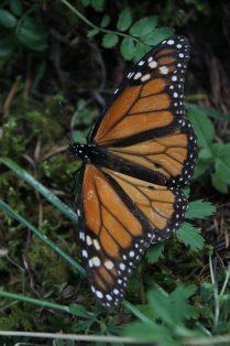 mariposa monarca_MLM