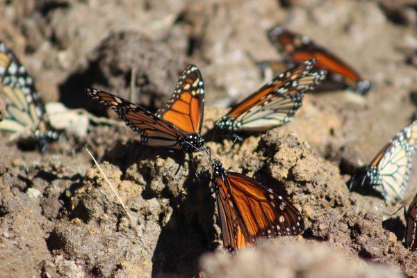 Árboles de oyamel  reciben a la monarca