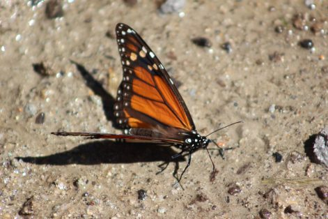 mariposa monarca_MLM (5)