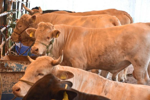 Disponibles, más de mil cabezas de ganado para mejorar hatos