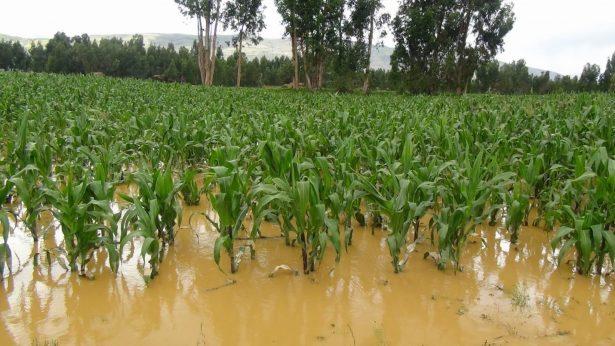 Daños a cultivos en 4,000 hectáreas
