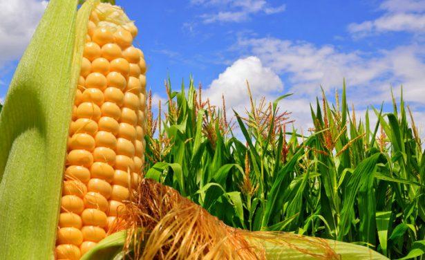Destacados en la producción de maíz blanco, deficitarios en amarillo forrajero