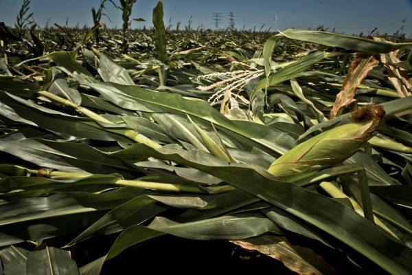 Cultivos morelianos, afectados por las lluvias