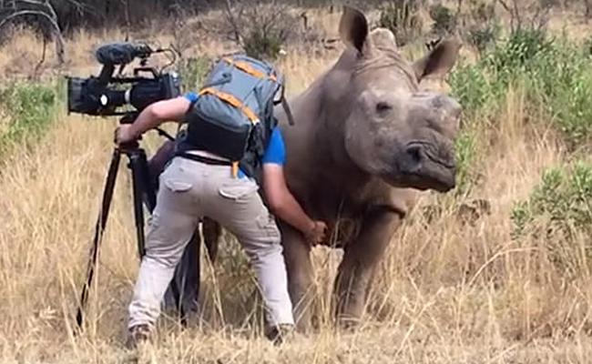 Rinoceronte pide a camarógrafo que le rasque la barriga