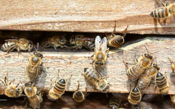 Familia es atacada por enjambre de abejas africanas, en Quintana Roo