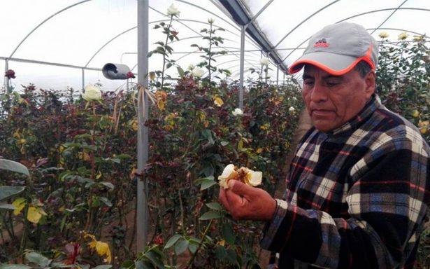 Heladas provocan daños en los cultivos de rosas