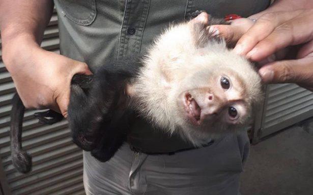 Flaco y pulgoso, así encontró Profepa al mono capuchino