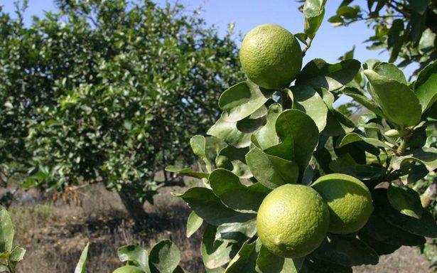 El limón persa ocupa el segundo lugar como un producto de exportación en México