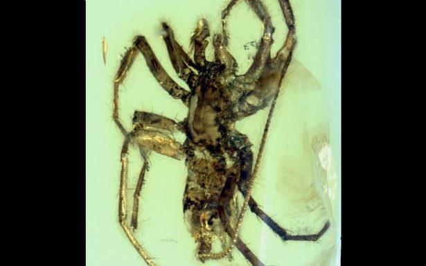 Hallan una araña con cola preservada en ámbar de hace 100 millones de años