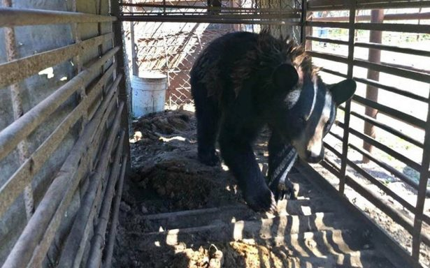 Rescata Profepa osa negra cautiva en Nuevo León