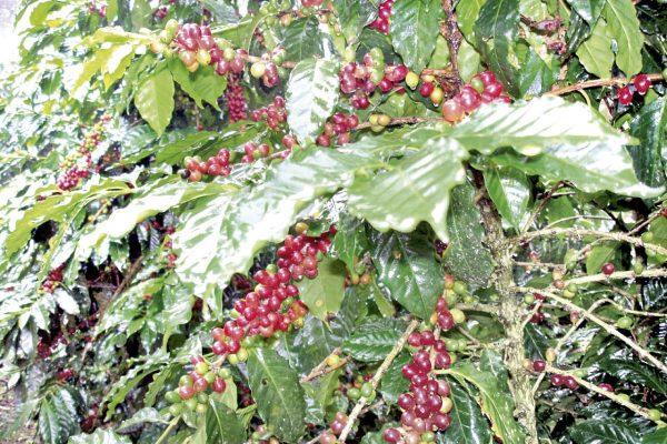 En proyecto, exportación de café a Bélgica y España