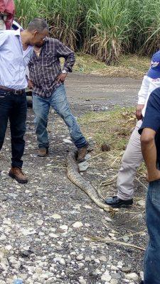 Matan enorme víbora en San José de Abajo.