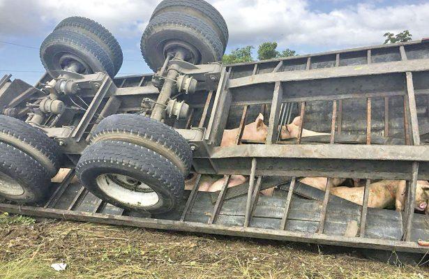 Vuelca tráiler con 150 cerdos; unos murieron y a otros se los robaron