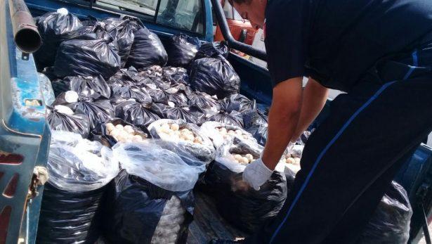 Lo detuvieron con mas de 20 mil huevos de tortuga.