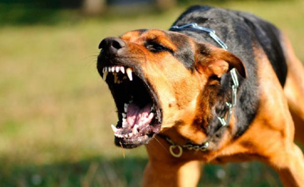 A partir de este viernes, 5 años de cárcel para quien entrene perros de pelea