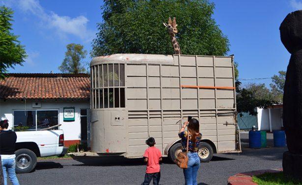 Dona parque de Morelia jirafa al zoológico de Culiacán