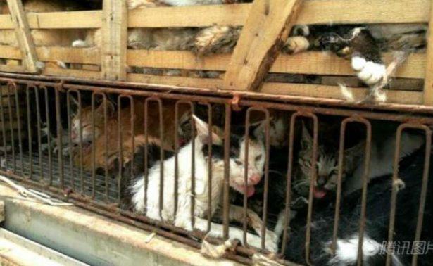 Detienen a hombre con 500 gatos en China que planeaba vender a restaurantes