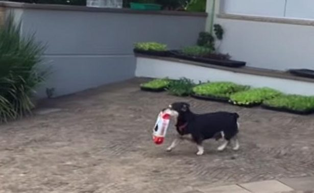 """Conoce a Pituco, el perrito """"saqueador"""" más famoso de Brasil"""