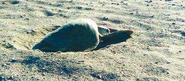 Desova en Loreto una tortuga golfina