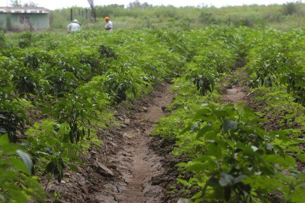 Bajan apoyos de Procampo; surgen quejas de productores