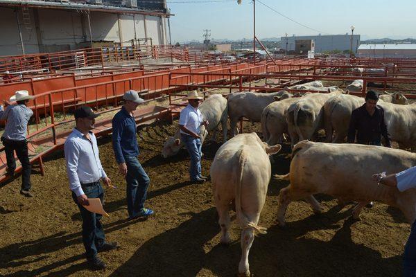 Ganaderos de Gpe.y Calvo solicitan subsidio para adquirir toros de registro