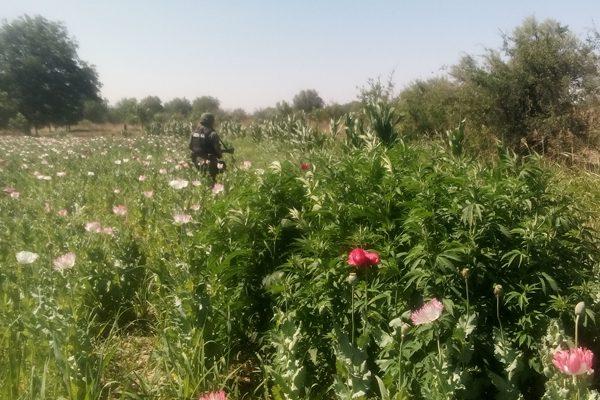 Localiza el Ejército plantío de amapola en Villa Coronado