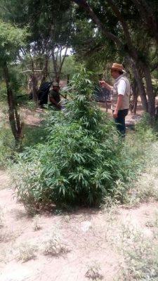 Videos: Localizan también mariguana en Villa Coronado