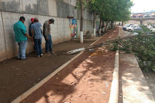 Cae un árbol del Parque Lineal por las lluvias fuertes