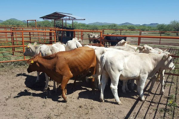Aseguran 19 cabezas de  ganado y un ejemplar de equino