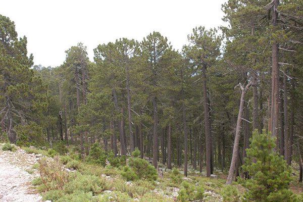 Reponen 750 mil pinos después de la explotación en Gpe. y Calvo