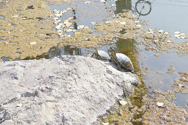 Sobreviven tortugas en estanque de basura