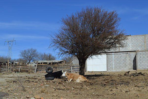Escasea siembra y ganado en la comunidad de Posadeño